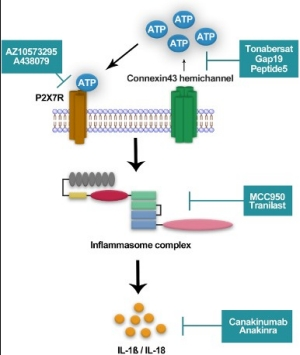 Inflammasome activation pathway and investigational drugs.
