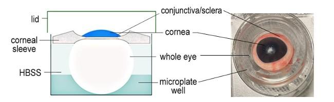 Ex vivo whole eye model for tissue penetration studies